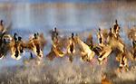 Mallard ducks, George C. Rifel Migratory Bird Sanctuary, Westham Island, British Columbia, Canada