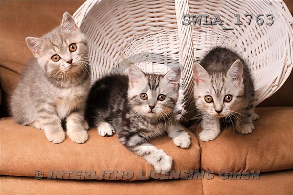 Carl, ANIMALS, photos, 3 kitten, wh.basket(SWLA1763,#A#) Katzen, gatos