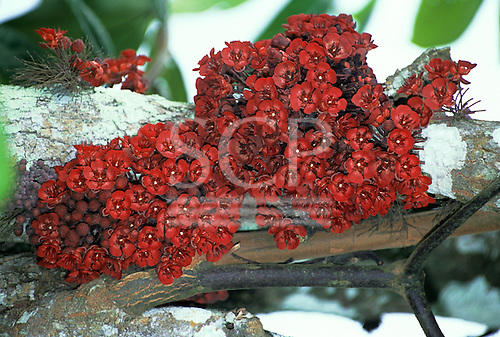 Tataquara, Brazil. Close-up of flowers and fruit growing on the trunk of a tree. Para State.