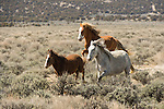 Three mares gallop across the sage fields in Northwest Colorado.