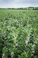 Winter beans in flower - June, Norfolk
