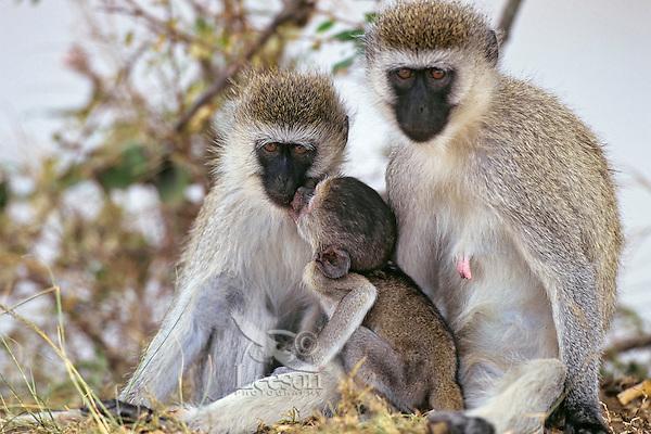 Vervet Monkey (Chlorocebus pygerythrus), Africa.  Common monkey of the african savanna.