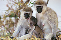 Vervet Monkey (Chlorocebus pygerythrus), Africa.  Common monkey of the african savanna.