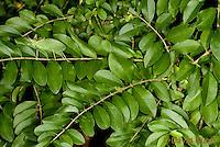 0815-0901  Camouflaged Common True Katydid (Northern True Katydid), Pterophylla camellifolia © David Kuhn/Dwight Kuhn Photography