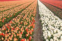 """Hollande, région des champs de fleurs, Lisse, champs de tulipes // Holland, """"Dune and Bulb Region"""" in April, Lisse, here, fields of tulips."""