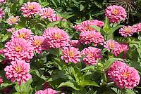 Zinnia 'Magellan Pink' annual flowers