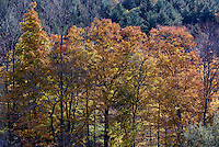 Stand of colorful autumn trees, Vermont, USA