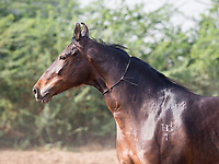 Marwari mare portrait