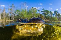 American Alligator, Alligator mississippiensis, Florida