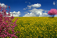 Meadow with two crabapple trees (Malus sp) in field of wild mustard, Mustard family (Brassicaceae)