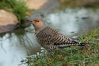 Adult female Northern Flicker, early morning. Central Texas.<br /> L'Image Magazine - Nature & Wildlife Edition.