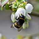Bee on blossom of Blueberry 'Blue Tit', mid April.