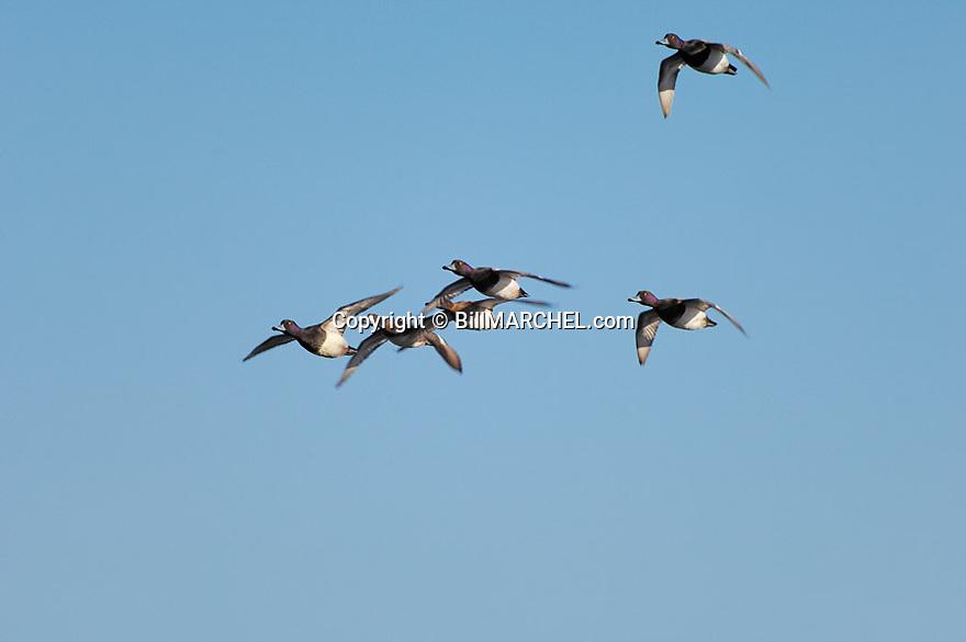 00342-007.04 Lesser Scaup (DIGITAL) flock in flight against blue sky.  Bluebill, action, hunt, waterfowl, wetland, fly.  H2L1