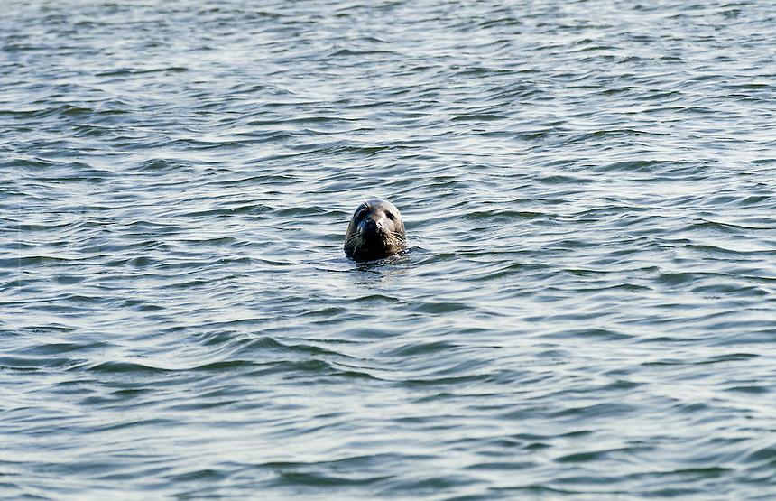 Curious seal, Cape Cod, Massachusetts, USA