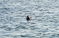 Curious seal, Cape Cod, Massachusetts, USA