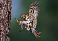 Ferruginous Pygmy Owl Portfolio