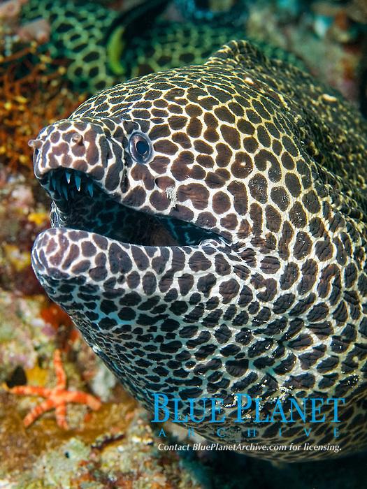 Honeycomb moray eel, Gymnothorax favagineus, South Ari Atoll, Maldives, Indian Ocean