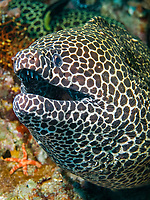 Honeycomb moray eel, Gymnothorax favagineus, South Ari Atoll, Maldives, Indian Ocean