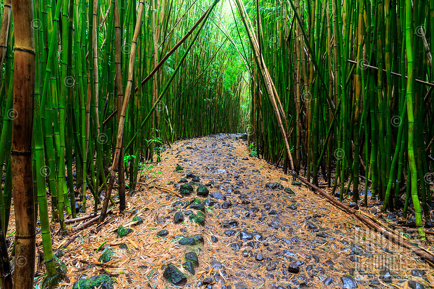 The Pipiwai Trail in Maui's Haleakala National Park leads through a lush bamboo forest, soaked with Hana rains and fresh scents. A tranquil scene that led to a peaceful state on this hike.