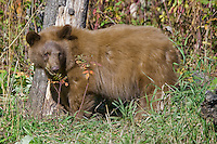 Young Cinnamon Black Bear watching from the edge of a forest
