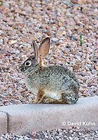 0228-1204  Desert Cottontail Rabbit (Audubons Cottontail), Sylvilagus audubonii  © David Kuhn/Dwight Kuhn Photography