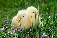 Two chicks sitting in grass