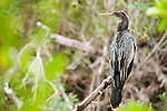 Ding Darling National Wildlife Refuge, Sanibel Island, Florida; an Anhinga (Anhinga anhinga) birds sits perched on a tree branch in the mangroves © Matthew Meier Photography, matthewmeierphoto.com All Rights Reserved