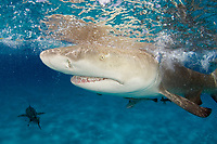 Lemon shark, Negaprion brevirostris, close up of snout, teeth and eye, with ampullae of Lorenzini (electrosensory pores) visible; remora, Bahamas, Caribbean Sea, Atlantic Ocean