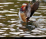 Mandarin Duck Display, Male Drake, Franklin Canyon, Southern California
