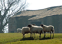 Swaledale ewes in front of top barn, Dinkling Green Farm.