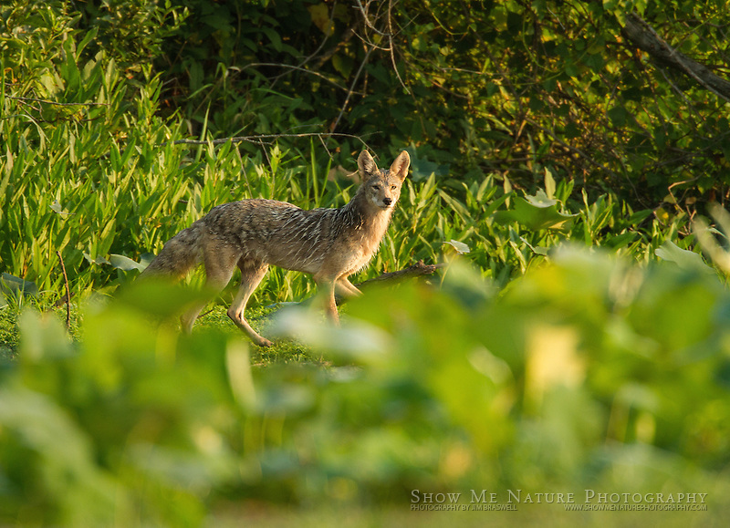 Coyote checking out the remains of Bittern Bottoms Conservation Area, during drought