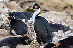 Magellanic Cormorant / Rock Shag