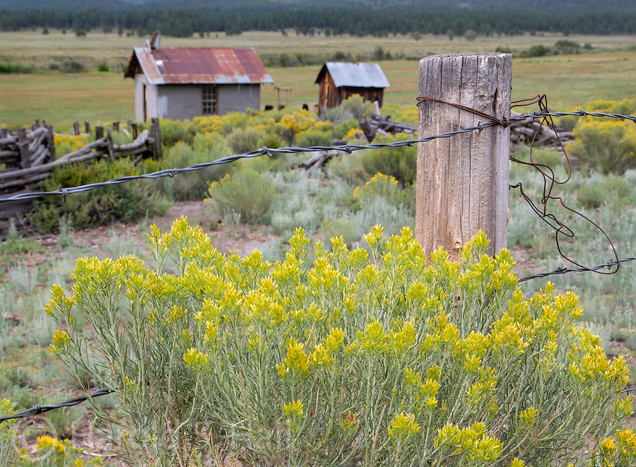 Chamisa is growing along a  fence line of an old homestead near Chama, New Mexico.