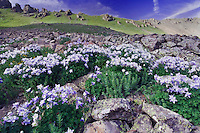 Mountains and wildflowers in alpine meadow,Blue Columbine,Colorado Columbine,Aquilegia coerulea, Ouray, San Juan Mountains, Rocky Mountains, Colorado, USA