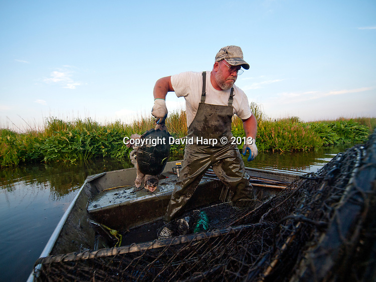 """Tom Caraker sets and checks his fyke nets for snapping turtles in small creeks of the upper Choptank River.Turklin'.  """"Not a whole lot do this,"""" says Tom Caraker, who traps for snapping turtles from Denton to Cambridge.  He works marsh guts so shallow that he needs a specialized air cooled """"mud"""" motor to reach traps deep into the marsh.   He catches from 100 to 600 pounds of snapping turtles a day.   It's among the highest value seafood in the Chesapeake Bay, one to more than dollars a pound live weight.   Tougher state regulations now require turtles to be 11 inches minimum size.   """" I don't mind throwing them back, that's my future,"""" Caraker says.  He sells them for meat and to aquaculture farms for breeding.   """"The meat,"""" he says, """"is delicious stewed or fried."""""""