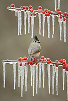 Tufted titmouse (Baeolophus bicolor), adult perched on icy branch of meadow holly (Ilex decidua) with berries, Hill Country, Texas, USA, North America