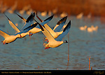 Snow Geese, Flyout at Sunrise, Bosque del Apache Wildlife Refuge, New Mexico