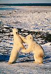Polar bears clash, Churchill, Manitoba, Canada