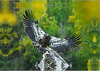 An immature bald eagle comes in for a landing on a branch along Alaska's upper Kenai River.