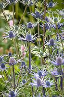Sea Holly, Eryngium 'Sapphir Blue' perennial flower in garden, Digging Dog Nursery