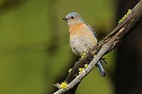 Adult female Western Bluebird (Siala mexicana). Yakima County, Washington. May.
