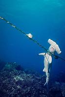 scalloped hammerhead shark, Sphyrna lewini, killed by shark net illegally set in Galapagos Marine Reserve, Wolf (Wenman) Island, Galapagos, Ecuador, Pacific Ocean