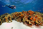Coral reef, Fiji, SCUBA diver