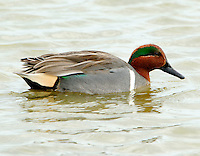 Adult male green-winged teal in breeding plumage swimming at Birding Center pond