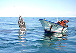 Marine biologists in boat search for California gray whale. The whale however,approaches from the opposite side.