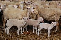 Allevamento. Breeding.Pecore.Sheep....