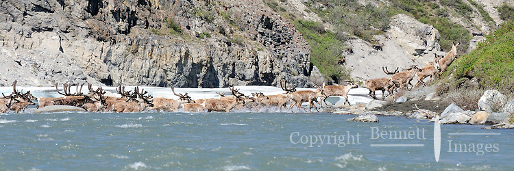 A group of caribou swims across the Hulahula River in Alaska's Arctic National Wildlife Refuge on a summer day.
