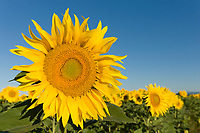 France, Provence, Valensole. Sunflowers against a blue sky.