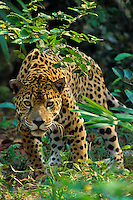 Jaguar (Panthera onca).  Photographed in Central America.