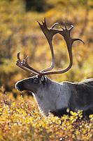 Caribou bull (Rangifer arcticus)